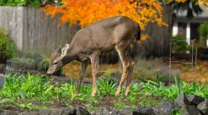 Image of a deer in a garden